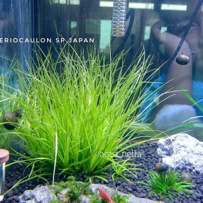 Jual Eriocaulon Sp Japan Tanaman Aquascape Kab Bogor Aqua Netta Tokopedia
