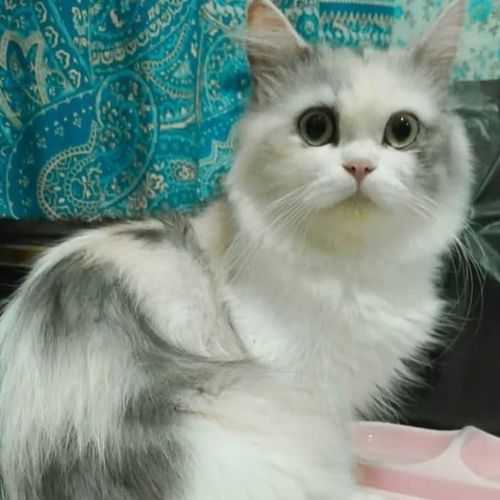 Imut Wallpaper Kucing Putih Lucu