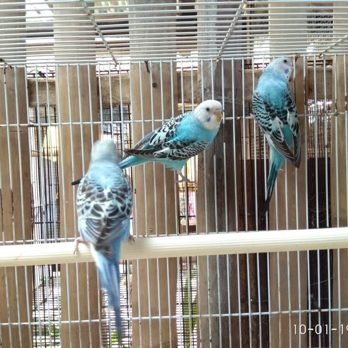 Jual Burung Parkit Kab Bantul Gading 88 Tokopedia