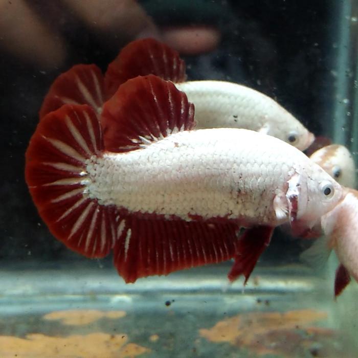 Ikan Cupang Dragon