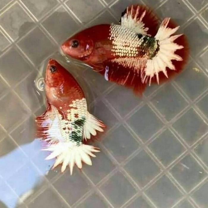Ikan Cupang Ws