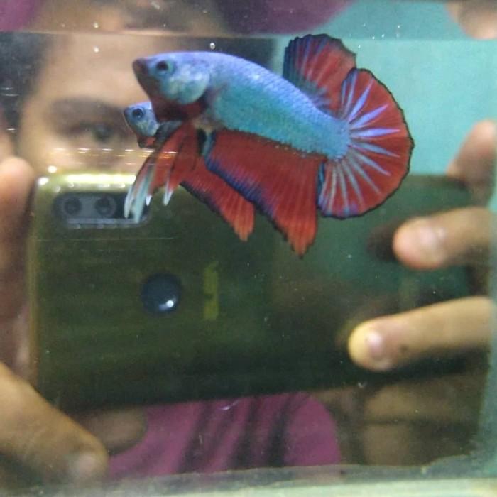 Jual Ikan Hias Cupang Hmpk Blue Dragon Kota Surabaya Bonex Betta Tokopedia