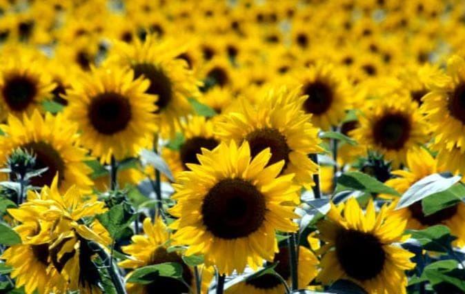 Jual Hot Sale Biji Bibit Benih Bunga Matahari Sunflower Helianthus Jakarta Barat Ummuhani52 Tokopedia