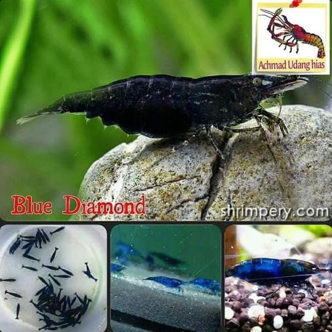 Jual Produk Unggulan Blue Diamond Shrimp Udang Hias Aquascape