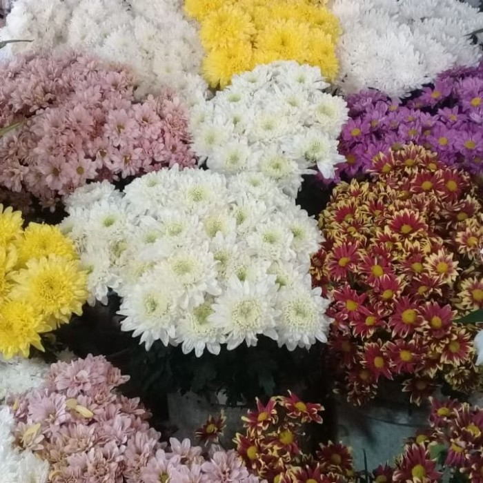 Jual Bunga Krisan Bunga Aster Kuning Jakarta Selatan Home