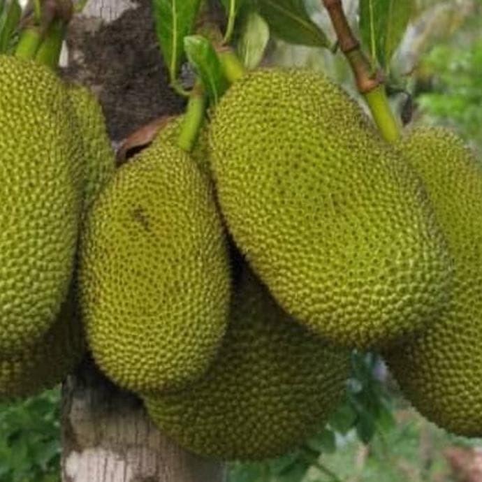 20 koleski terbaru sketsa gambar buah nangka