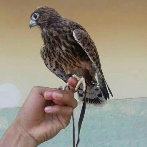 63 Gambar Burung Elang Dari Kertas Karton HD Terbaru