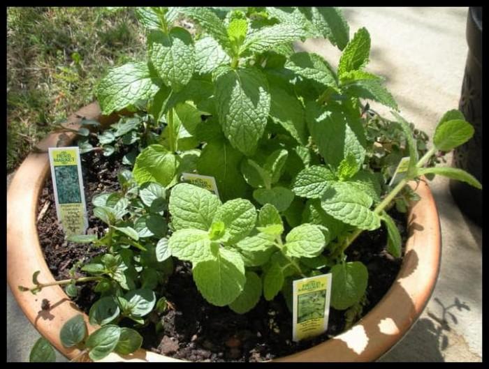 Foto Produk Produk Termurah Biji Benih Bibit Daun Mint Herbal Import Uk Inggris dari bibitwulandarinisa shop
