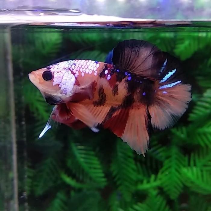 Jual Ikan Cupang Nemo Candy