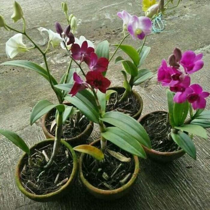 Desain Taman Anggrek Minimalis  jual tanaman hias anggrek dendronium bunga pohon anggrek kab bogor restu bunda flora tokopedia