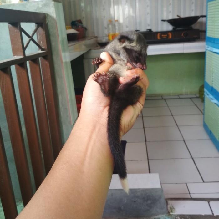 Jual Musang Pandan Ekor Putih Jakarta Timur Pucuk Zona Pets