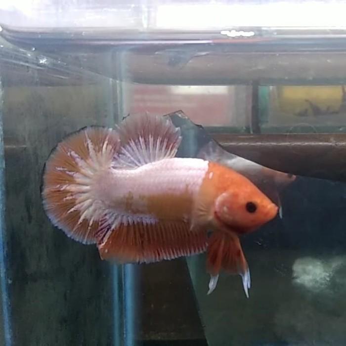 Jual Ikan Cupang Ws Orange Head Indukan Kota Medan Chyo Inst Tokopedia