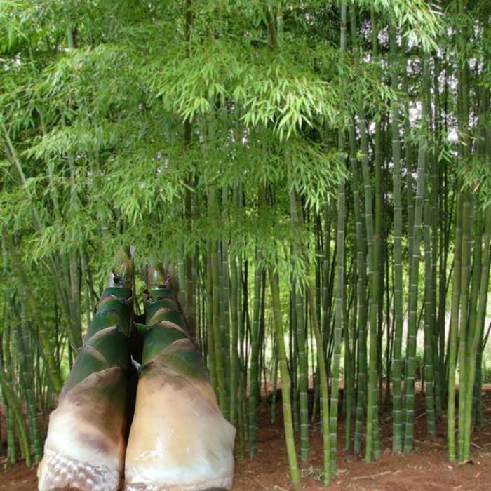 rebung bambu kunming untuk tratamiento de diabetes