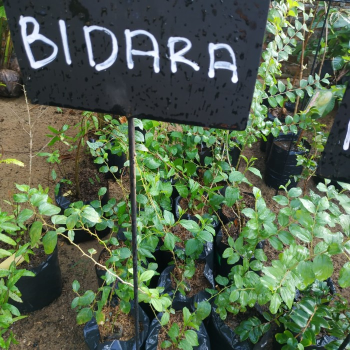 Jual bibit bidara arab/sidr tanaman yg ditakuti makhluk halus( obat herbal)  - Kab  Lampung Tengah - TION OLSHOP | Tokopedia