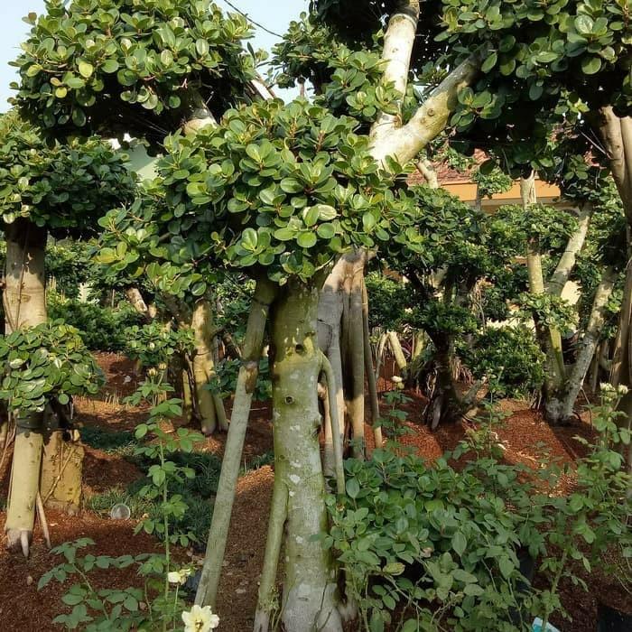 Jual Tanaman Cemara Udang Dan Bonsai Beringin Korea Kab Bogor Rony Cahaya Taman Tokopedia