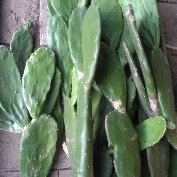 harga 1kg kaktus centong opuntia makanan torto kura kura darat tortoise Tokopedia.com