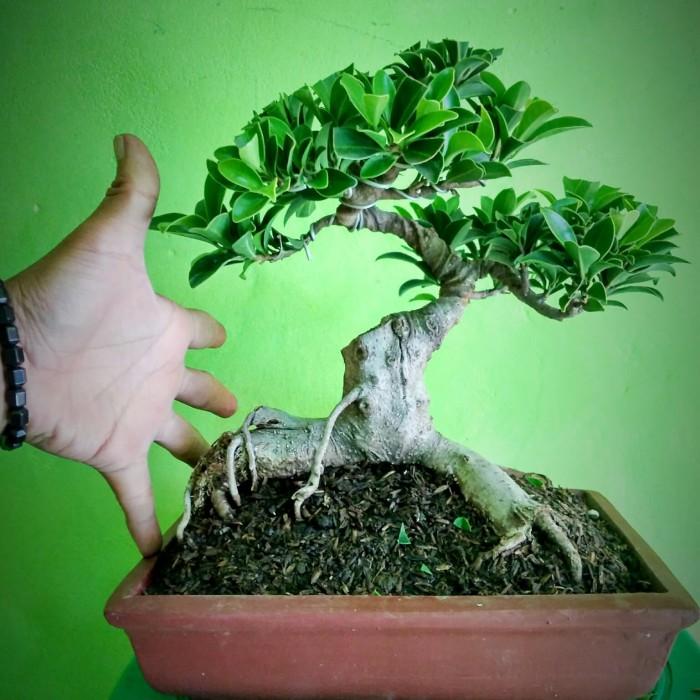 Jual Bonsai Mini Beringin Elegan Ficus Elegant Kab Cianjur Jual Bonsai Tokopedia
