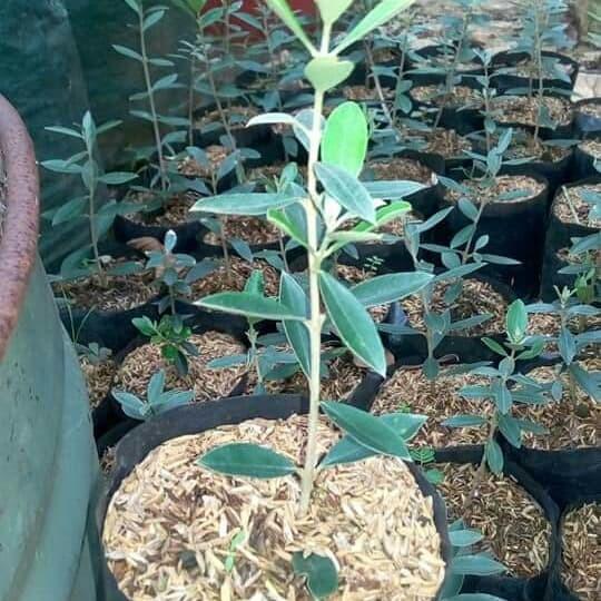 Jual Pohon Zaitun Bekasi