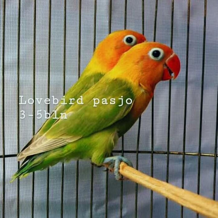 Jual Lovebird Pasjo Pastel Ijo Jakarta Pusat Babibubetastore Tokopedia