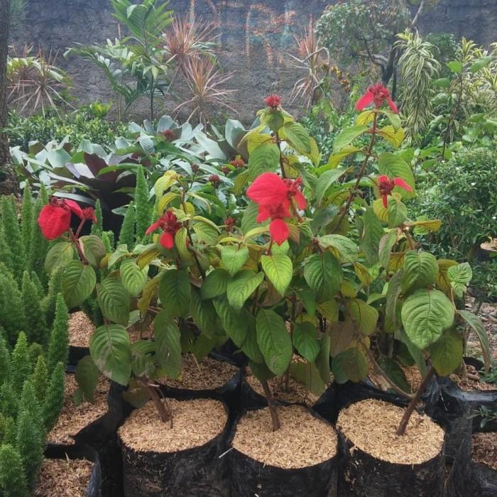 Jual Bibit Pohon Bunga Nusa Indah Merah Tanaman Bunga Nusa Indah Merah Kab Bogor Anak Petani Tokopedia