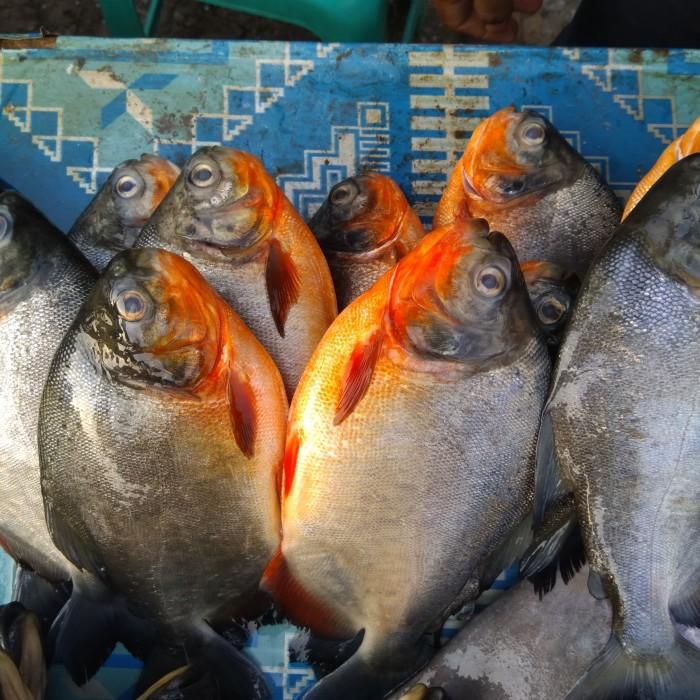 Download 700 Gambar Ikan Bawal Tawar Terbaru