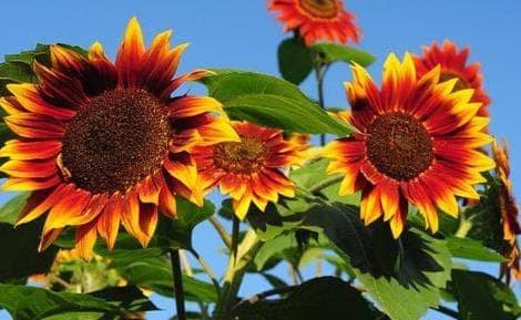 Jual Biji Benih Bibit Bunga Matahari Sunflower Evening Sun Baru Kota Tangerang Selatan Aldora Tokopedia