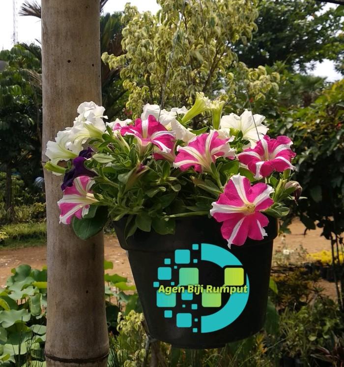 Jual Tanaman Gantung Bunga Petunia 3 Warna Kab Bekasi Kitut Shop Tokopedia