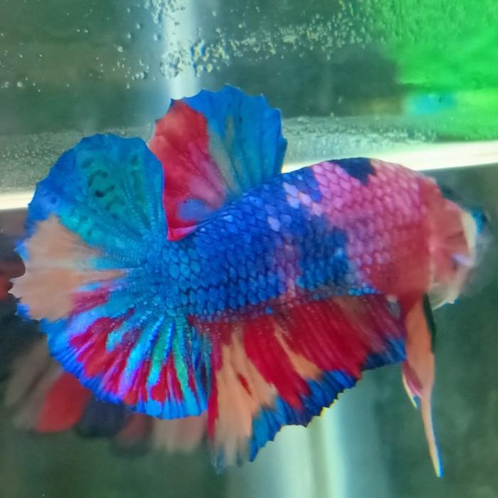 Jual Ikan Cupang Hias Plakat Koi Galaxy Nemo Candy Rainbow Ori Thailand Kab Gresik Ben Zaph Tokopedia