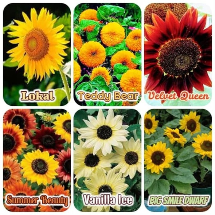 Download 630+ Gambar Bunga Matahari Big Smile HD Terbaru