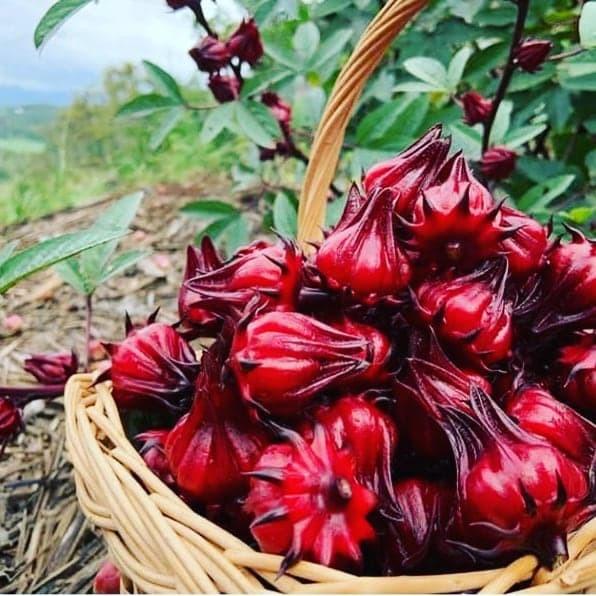 Jual Teh Bunga Rosella Merah Murni Kota Tangerang Anekafashionmuslim Shop Tokopedia