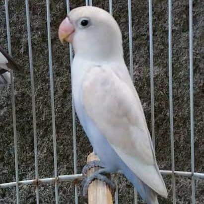 Jual lovebird, pastel putih - Jakarta Timur - Indahrherestore ...