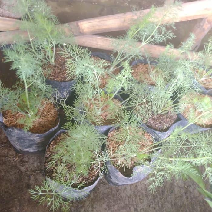 Jual Tanaman Obat Herbal Adas Kota Batu Farid Floris Tokopedia