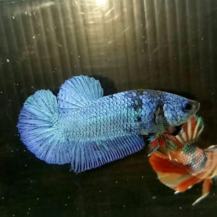 Jual Ikan Cupang Hias Avatar 05 Jakarta Barat Mia Bagus Tokopedia