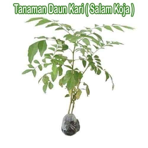 Foto Produk Tanaman Daun Kari Salam Koja dari Barokah Florist Official
