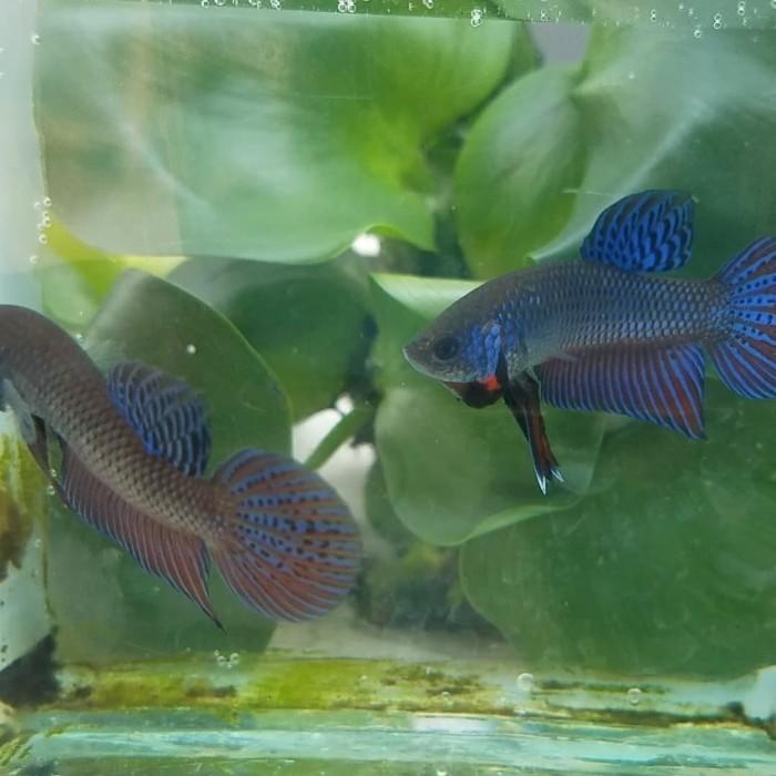 Jual Ikan Cupang Alam Jakarta Barat Wild Betta Smaragdina Tokopedia
