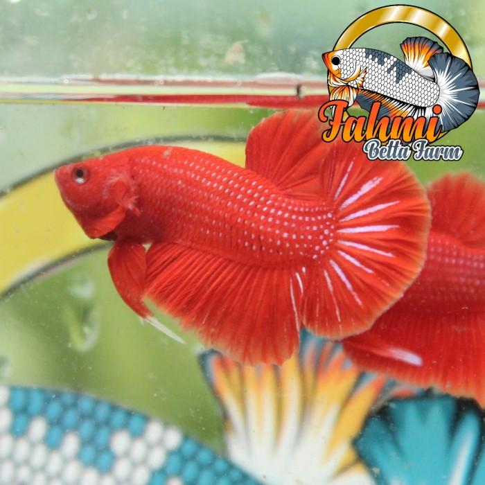 Jual Hiasan Aquarium Ikan Cupang Super Red Kota Tangerang Fahmi Cupang Tokopedia