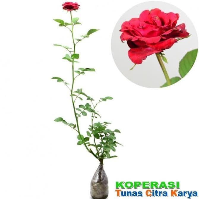 Jual Restock Bibit Okulasi Tanaman Bunga Mawar Tanpa Duri Restock Jakarta Selatan Tukang Taman Jakarta Tokopedia
