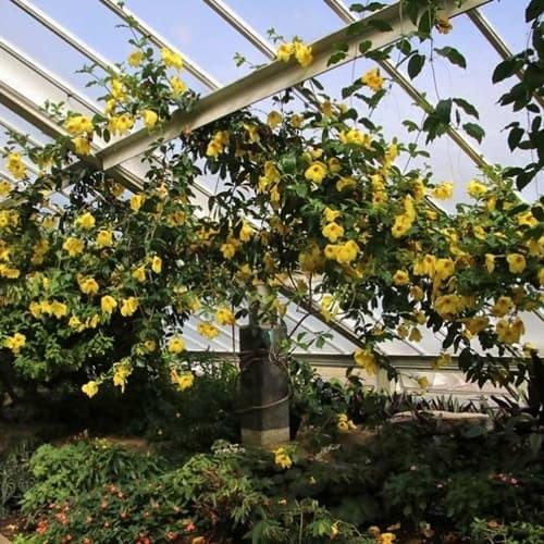 Jual Bibit Tanaman Bunga Alamanda Terompet Emas Bunga Lonceng Kuning Kota Malang Harristore Tokopedia