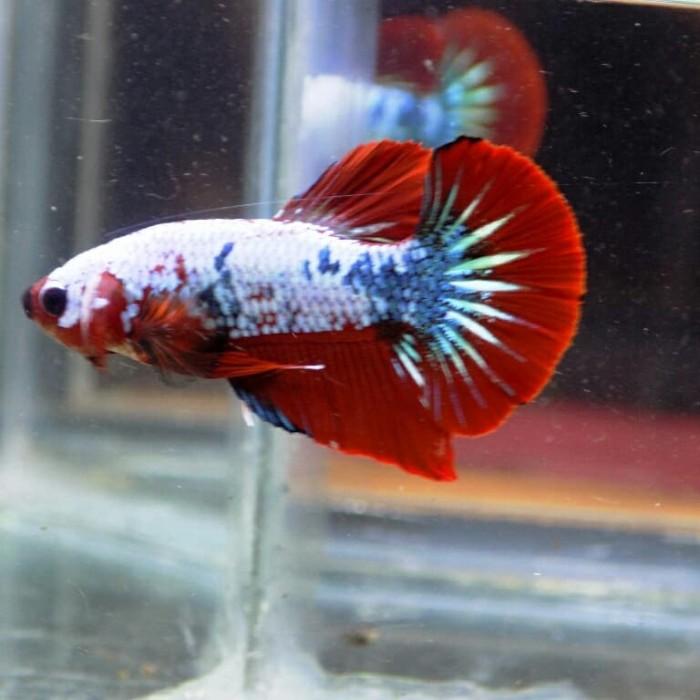 Jual Jual Ikan Cupang Plakat Fancy Copper Kota Manado Lamadang Bettafish Tokopedia