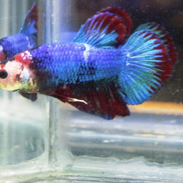 Jual Jual Ikan Cupang Giant Fancy Body Only 4cm Kota Manado Lamadang Bettafish Tokopedia