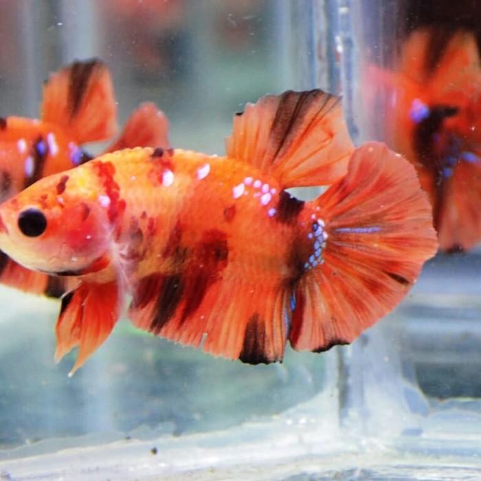 Jual Jual Ikan Cupang Plakat Koi Nemo Emerald Full Block Kota Manado Lamadang Bettafish Tokopedia