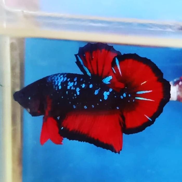 Jual Ikan Cupang Avatar Dracs Jakarta Barat West Betta Store Tokopedia