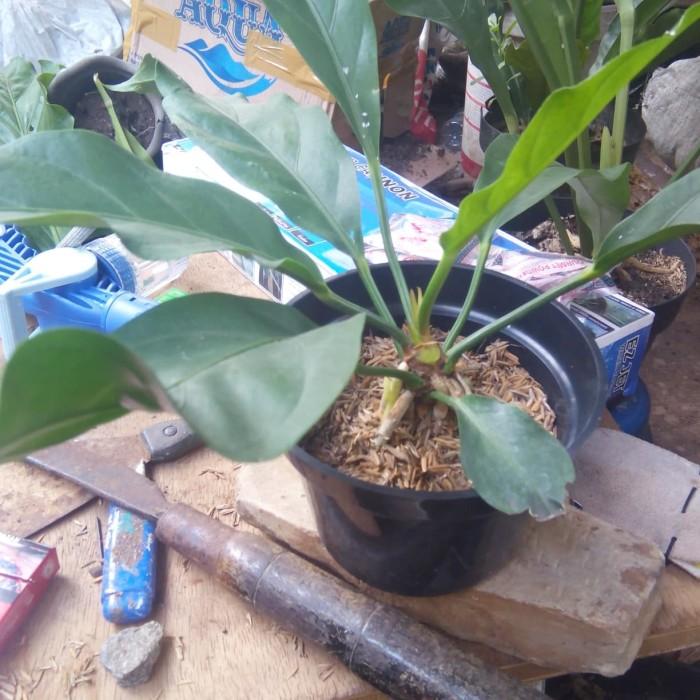 Jual Gelombang Cinta Pohon Tanaman Hias Anthurium Anturium Daun