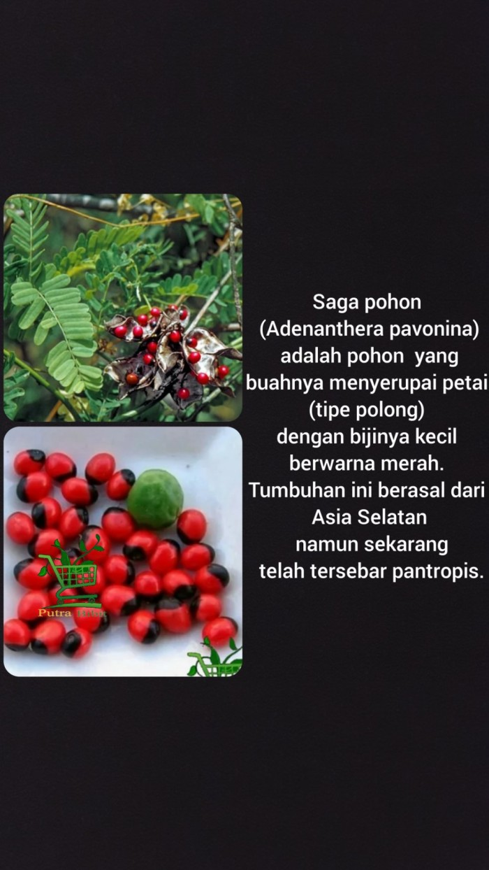 Jual Benih Biji Pohon Saga Isi 30 Butir Tanaman Saga Herbal Jakarta Pusat Kenzieejoo Shop