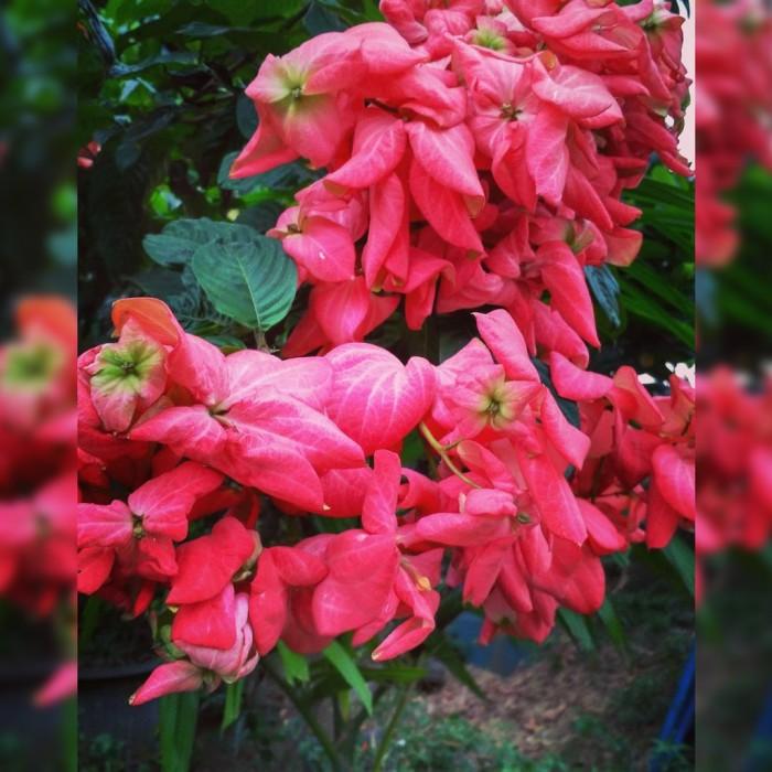 Jual Bibit Bunga Nusa Indah Merah Tanaman Pohon Hias Outdoor