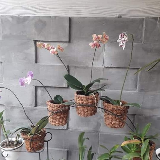 Jual Pot Serabut Kelapa Anggrek Dendrobium Gantung Bonsai