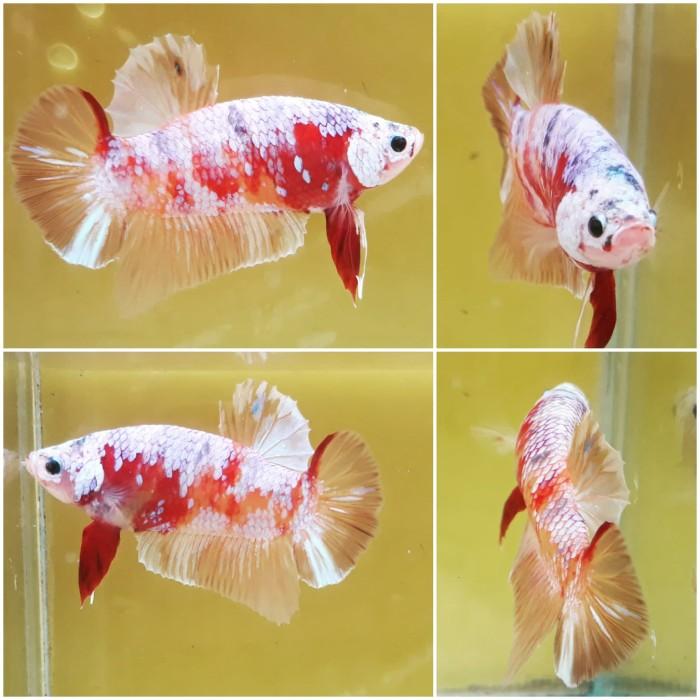 Jual Ikan Cupang Giant Nemo Soft Gold Kab Bekasi Betta Sugoi Indonesia Tokopedia
