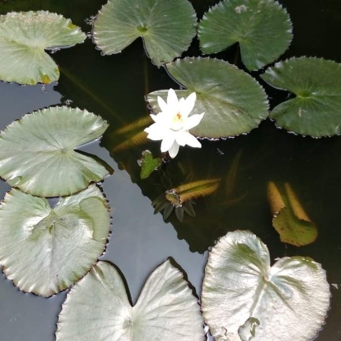 Jual Tanaman Bunga Teratai Putih Polos Jakarta Utara Alena Putri Tokopedia