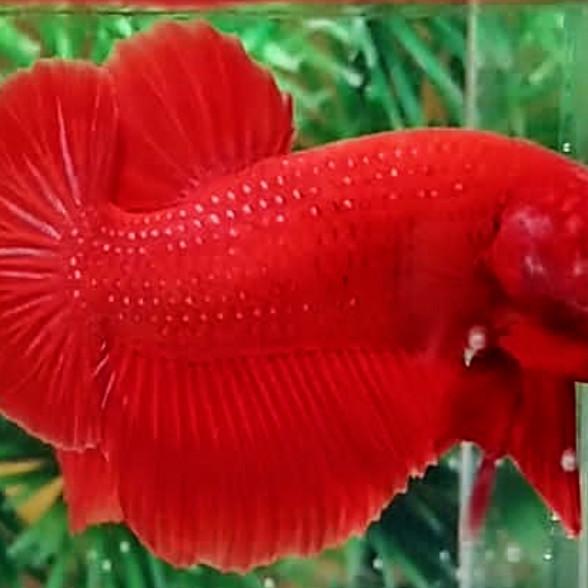 Jual Ikan Cupang Plakat Super Red Kota Tangerang Vonline Tokopedia