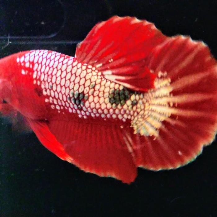Jual Ikan Cupang Fccp Red Head Botak Kota Tangerang Vonline Tokopedia